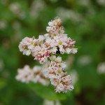 fleurs-blé-noir-creperie-air-du-temps